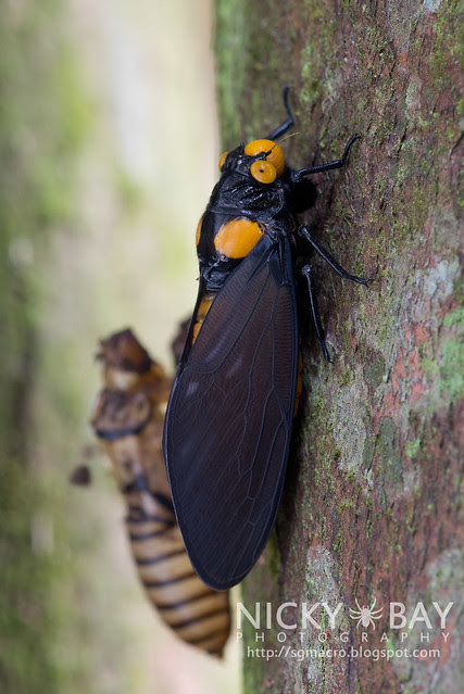 Black and Golden Cicada (Huechys fusca) - DSC_8920