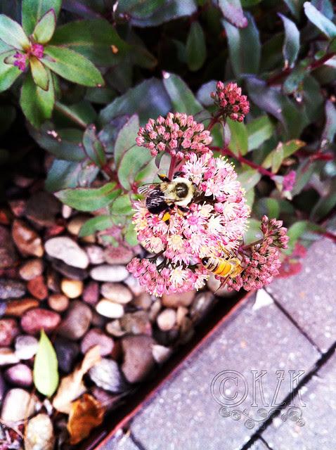 IMG_0618 2 Bees on Purple Emperor Sedum