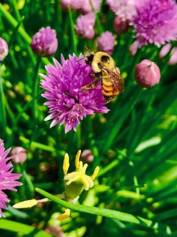 Un abejorro 'Bombus rufocinctus' en una flor de cebollino.
