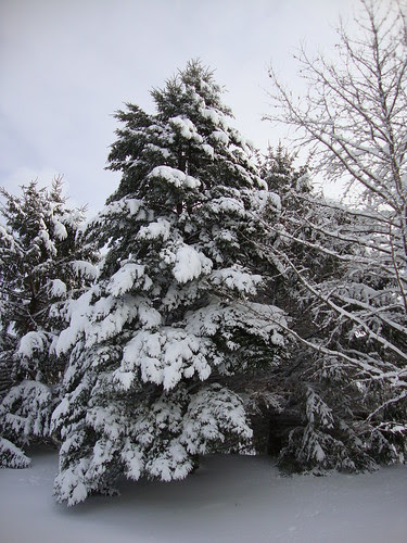 back yard tree 1/27/11