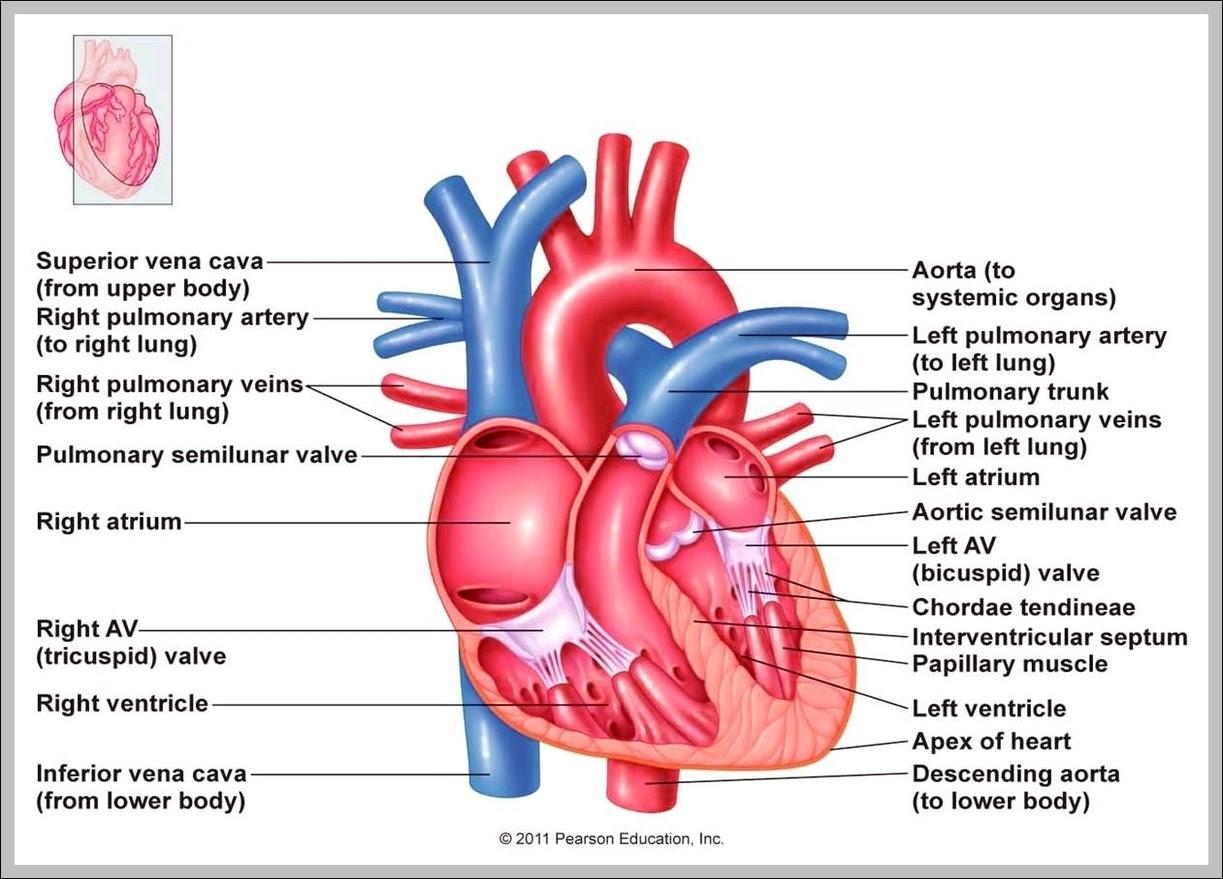 Heart Explained Graph Diagram