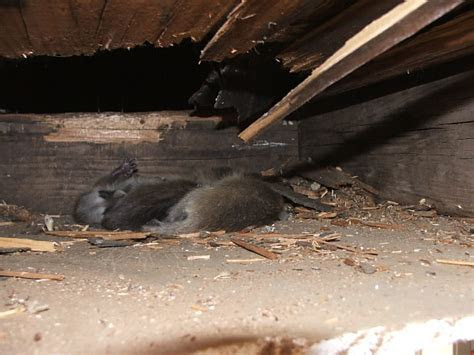 Raccoons in Crawlspaces   Raccoon Removal   Allstate Animal Control