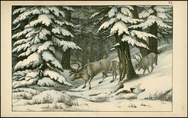 zoological chromolithograph - Le renne
