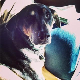 Tut nabbed the prime morning sun spot #dogstagram #coonhoundmix #sunspot