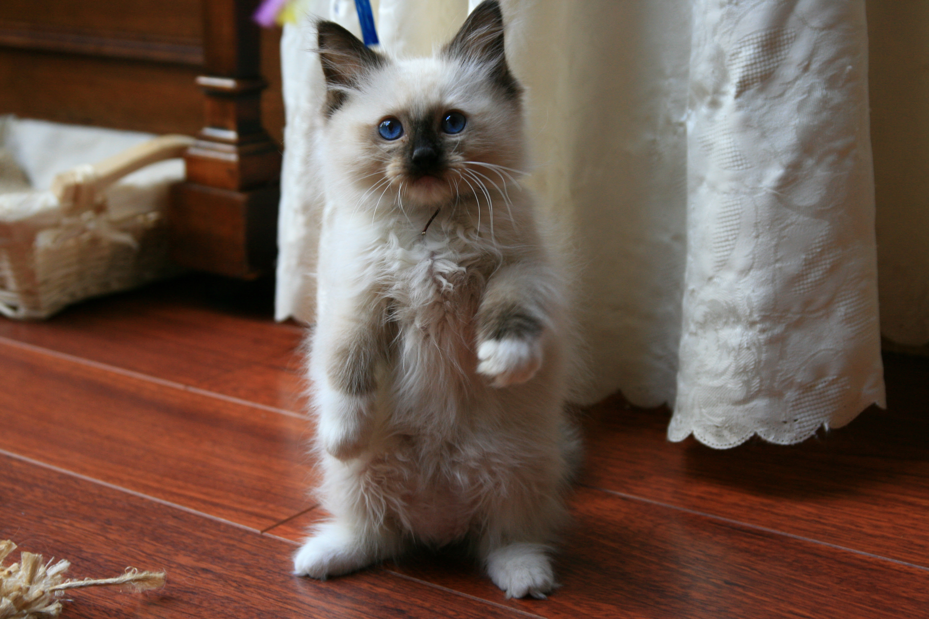 Ragdoll Cat Information Behavior And Traits Random Funny Cat