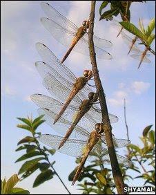 Globe skimmer dragonlies