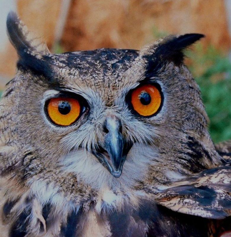 Download 88  Gambar Burung Hantu Ganas HD Paling Keren Gratis