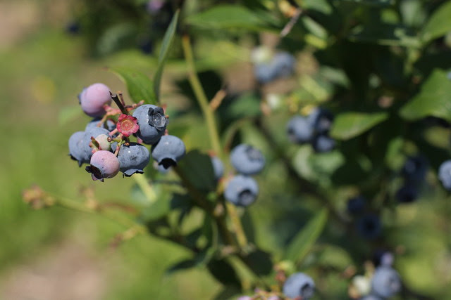 Berries to bellies