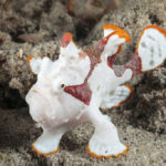 Warty Frogfish (Antennarius maculatus)