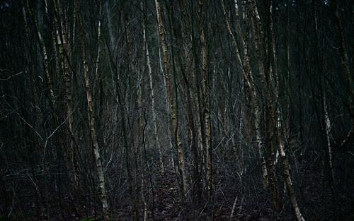 Birches 72379