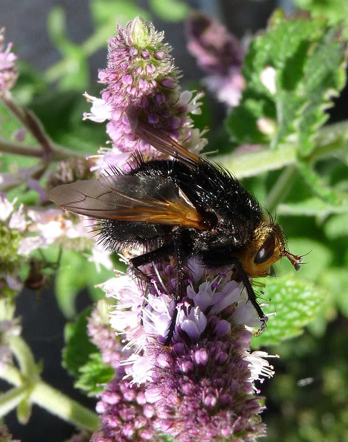 24843 - Tachina Grossa