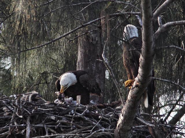 Bald Eagle female tears at prey 20140205