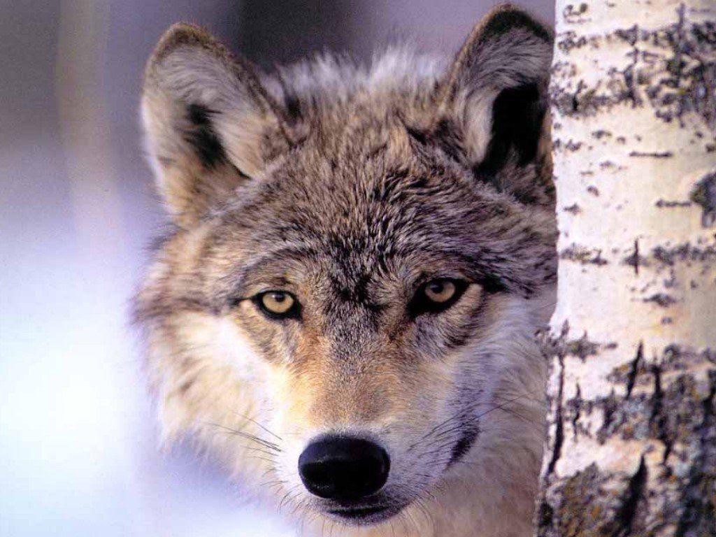 Fonds Ecrans Loups