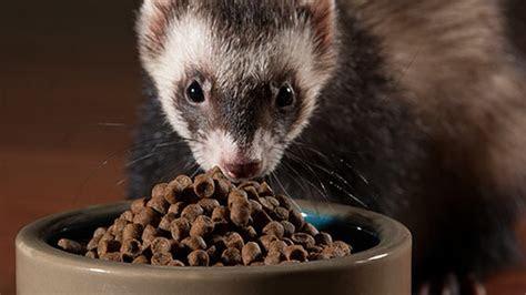 guide  learning ferret diet