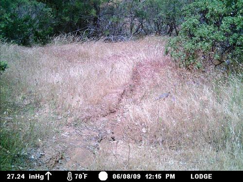 ghost quail