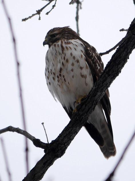 Ed Gaillard: birds &emdash; Unidentified Buteo, Central Park