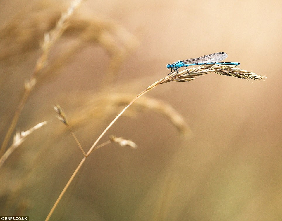 Resting damselfly: Photographed by Alex Saberi