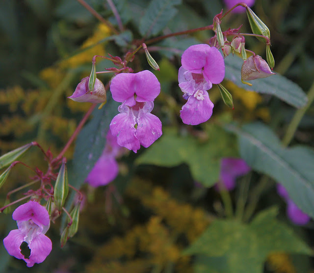 Indian Balsam
