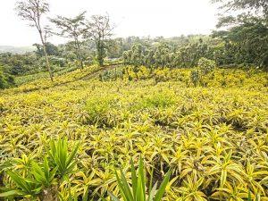 Gallery Ornamental Plants Green Plants Costa Rica