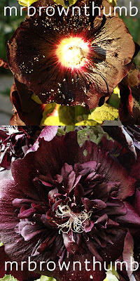 Black Hollyhock Alcea rosea, black plants black flowers