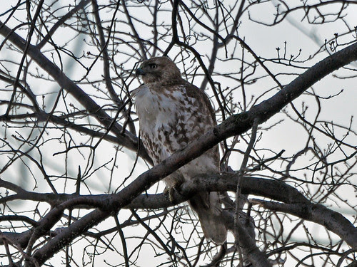 St. Nick Juvie Red-Tail