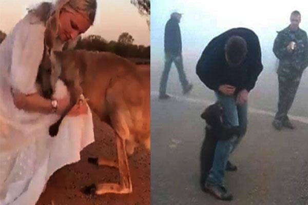 ऑस्ट्रेलियाः आग से बचाने वाले के गले लगकर रोया कंगारू, कोआला ने पकड़ लिए पैर (देखें इमोशनल Video )