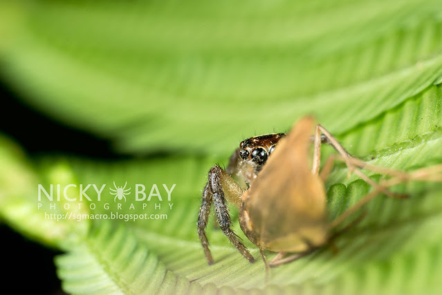 Jumping Spider (Salticidae) - DSC_9560