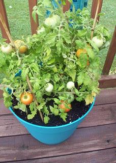 Tomatoes_72712c