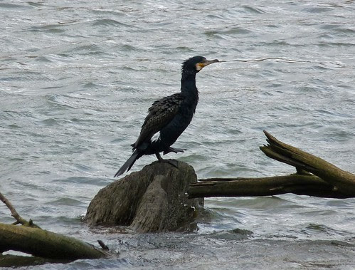 11983 - Cormorant on Ogmore River
