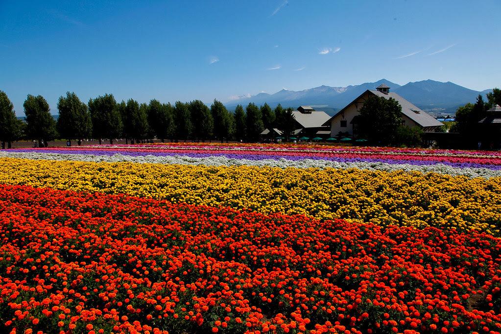 富田農場與十勝連峰
