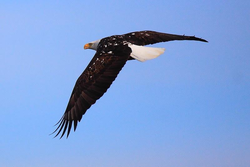 IMG_6323 Bald Eagle, Sacramento National Wildlife Refuge