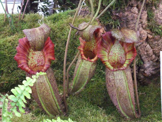 A planta carnívora mais alucinante do mundo