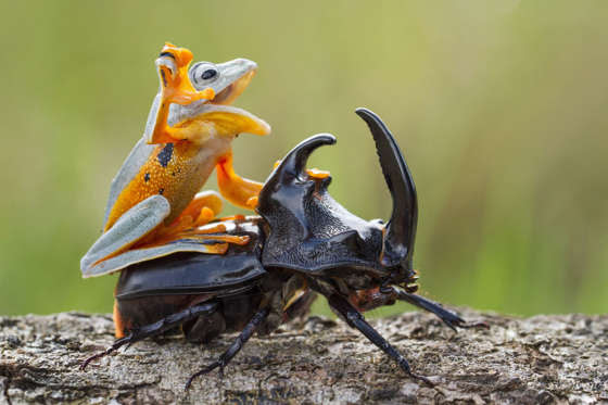 Frog rides a beetle like a rodeo cowboy on a bull, Sambas, Indonesia - Jan 2015