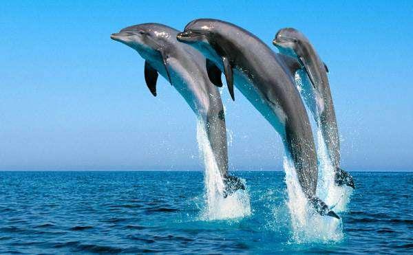 Обыкновенный дельфин, или дельфин белобочка (Delphinus delphis), фото киты фотография