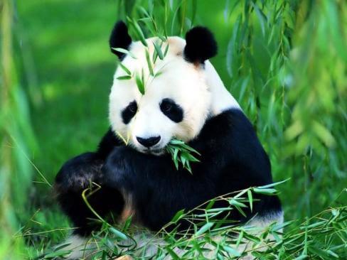 http://www.dunyamizikoruyalim.com/wp/wp-content/uploads/2009/07/panda1.jpg