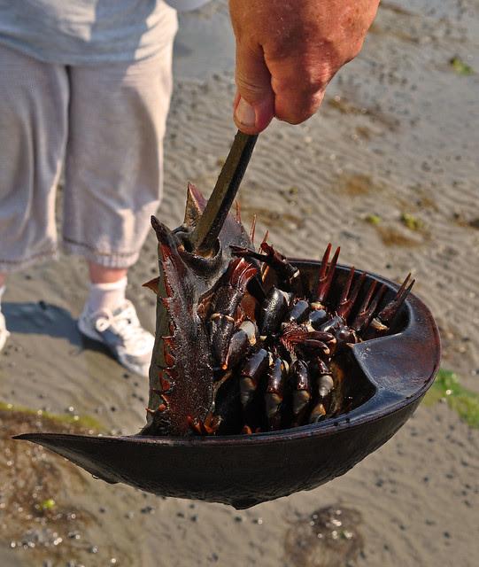 Horseshoe Crab (3)