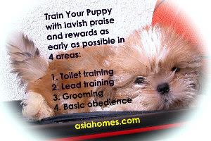 Shih Tzu puppy always wag tail