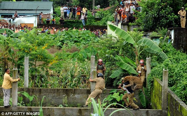 Villagers can only watch in horror as the leopard which mauled a number of people lands on a forest guard