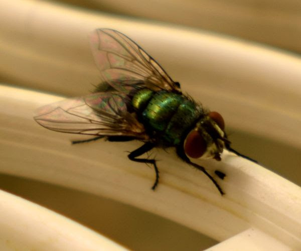 A close-up photo of a housefly resting atop plastic kitchenware at my house...as seen with a macro lens attached to my Nikon D3300 DSLR camera.