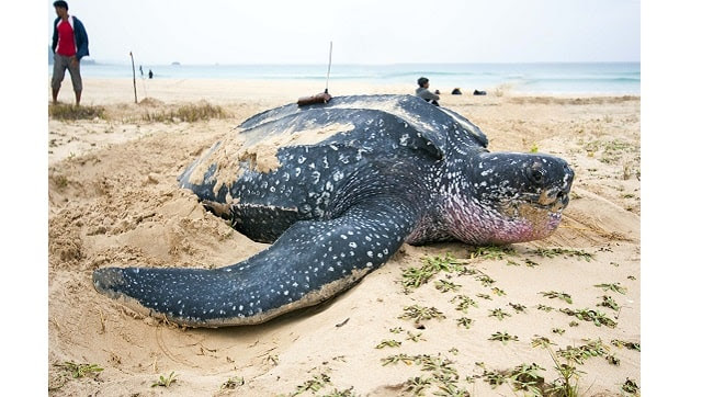 The leatherback, the most distinctive of the sea turtles. Photo courtesy Adhith Swaminathan