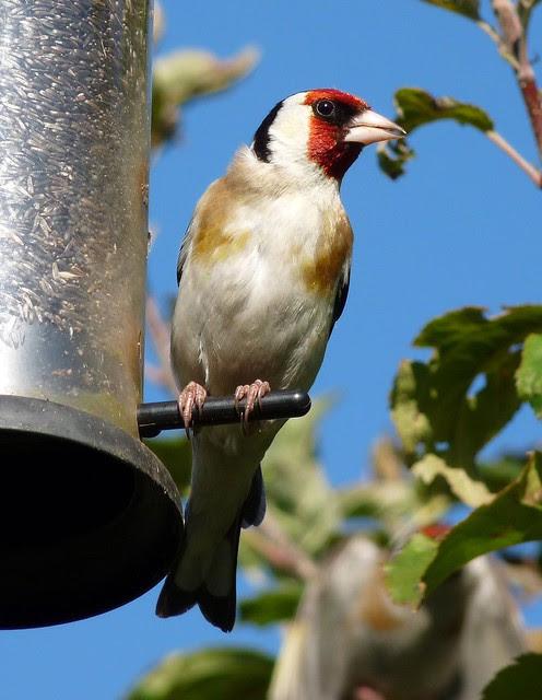 24735 - Goldfinch