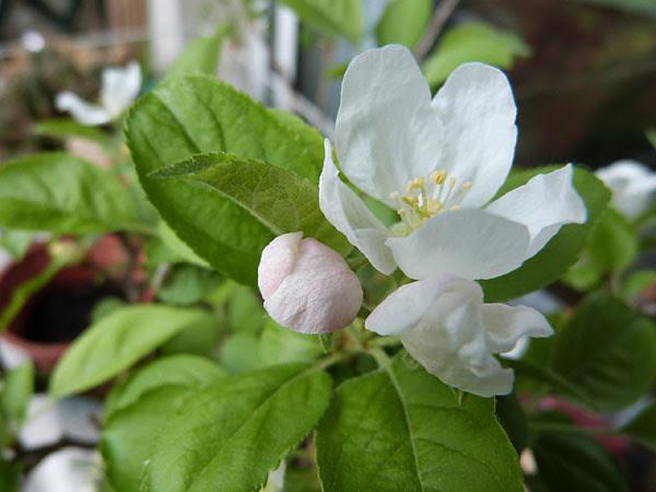 fleur d epommier.jpg