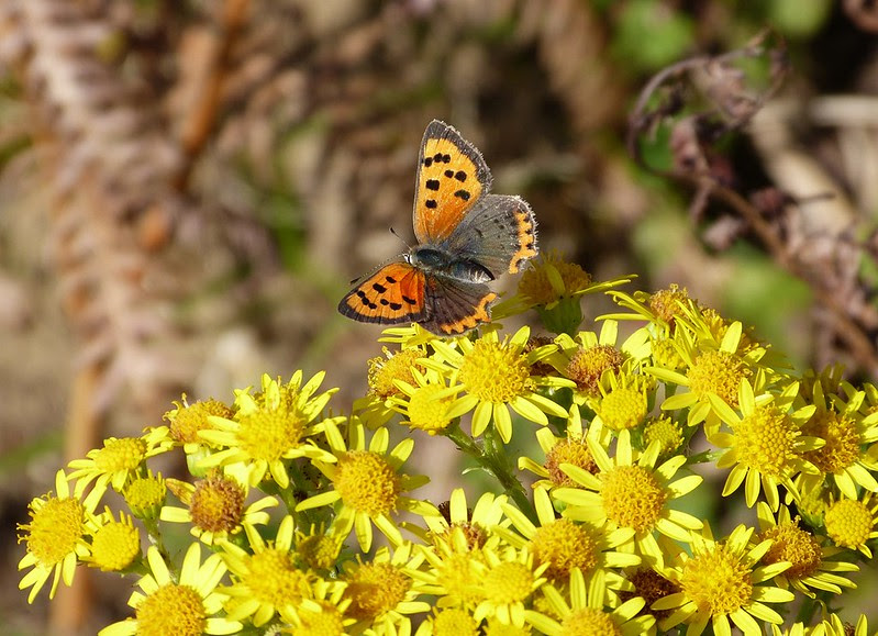 Small Copper, Kenfig NNR
