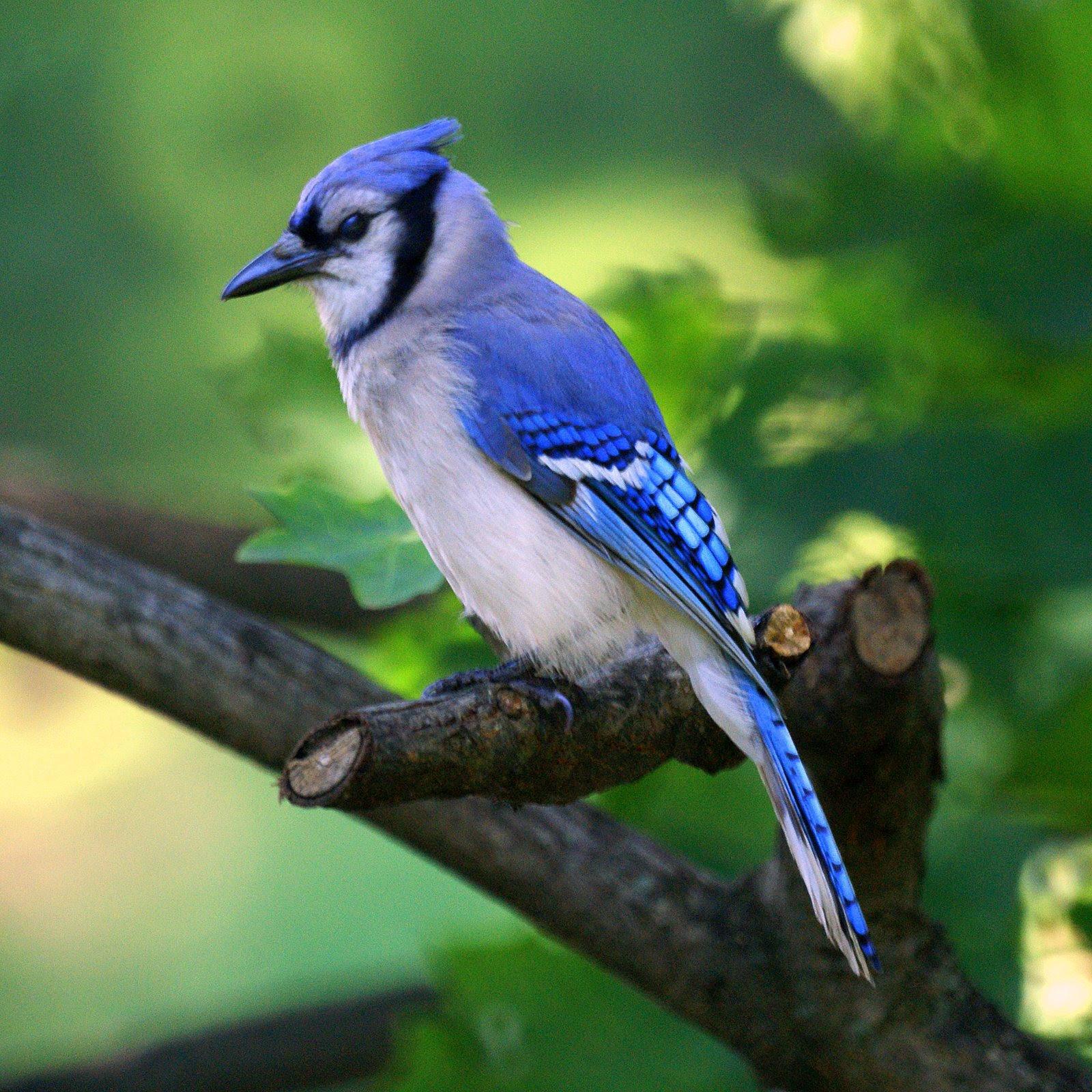 Blue Jay New Jersey Bird Photos