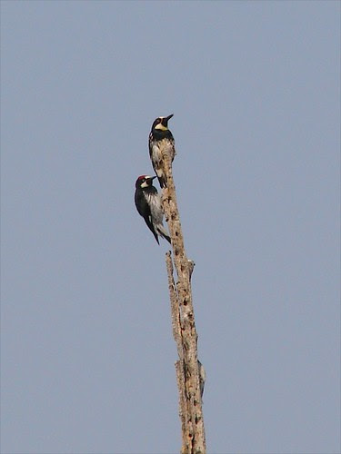 acorn woodpeckers on spike