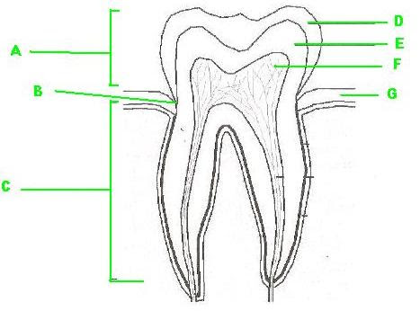 Label The Parts Of The Tooth - ProProfs Quiz