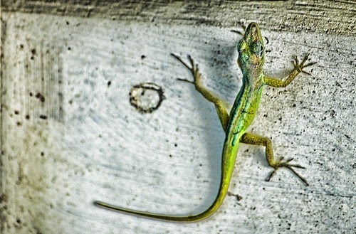 Little Green Lizard
