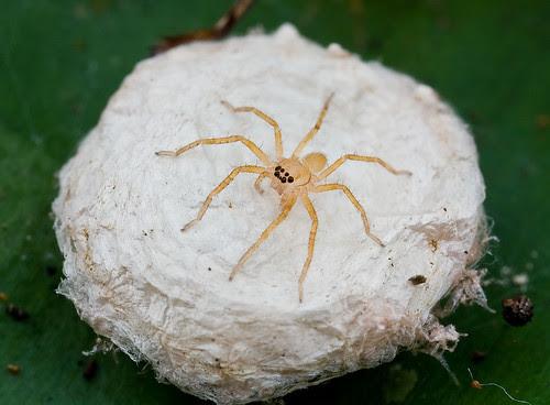 huntsman spiderlings IMG_8690 copy