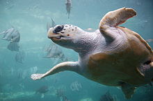 A loggerhead sea turtle in an aquarium tank swims overhead.  The underside is visible.