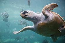 A loggerhead sea turtle in an aquarium tank swims overhead.  The underside is visible.